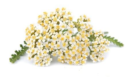白い花をつけるヤロー工場