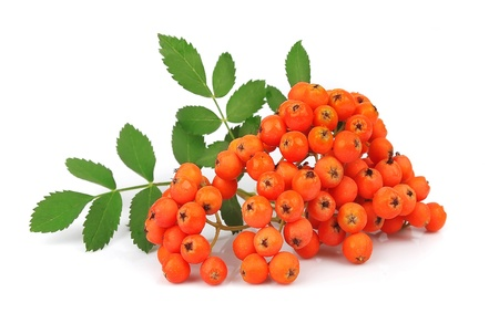 rowanberry: Bunch of red rowan isolated on white  Stock Photo