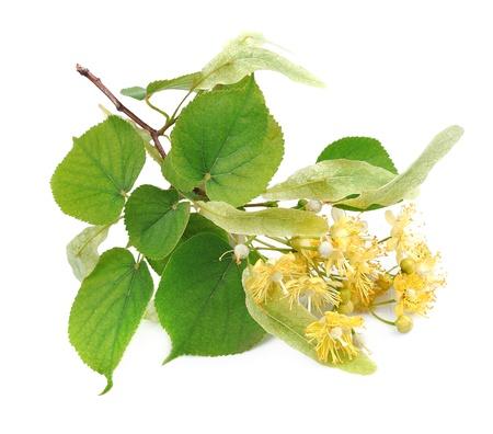 ramo di fiori di tiglio su uno sfondo bianco Archivio Fotografico