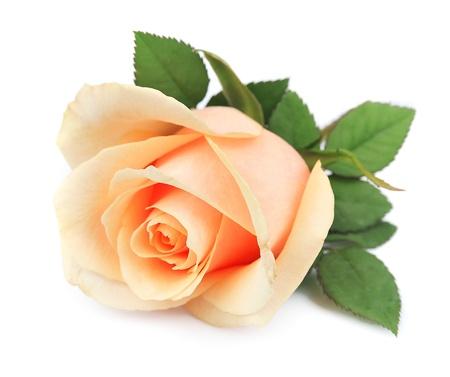 白地に美しいオレンジのバラ
