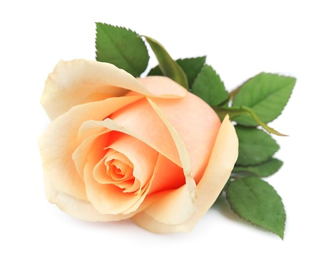Beautiful orange rose on white photo