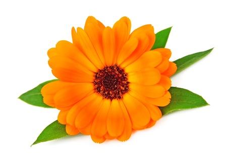 単一のマリーゴールドの花が白で隔離
