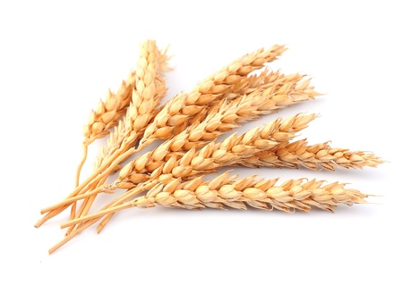 wheat: wheat isolated on white close up