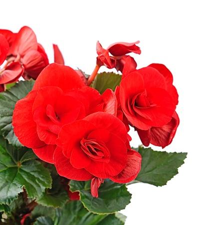begonia: begonia flower closeup