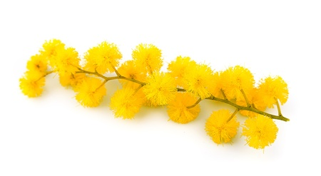 mimosa: Twig of mimosa flowers on white background  Stock Photo