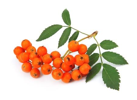 rowan tree: Bunch of red rowan berry isolated on white