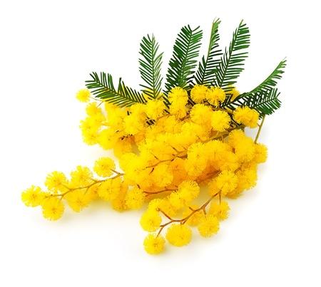 白い春の花で隔離ミモザの花の枝