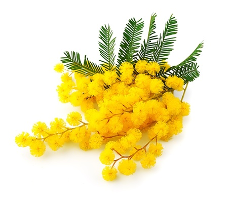 mimosa: Twig of mimosa flowers isolated on white Spring flower