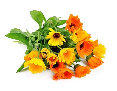 marigold: Marigold flower isolated on a white background