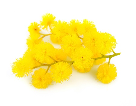 mimosa: Twig of mimosa flowers isolated on white Spring flower  Stock Photo