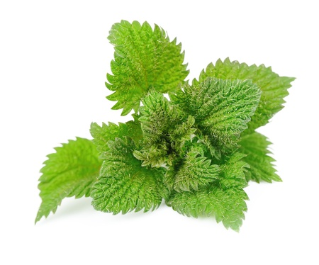 stinging nettle: Nettle herbs close up on white Stock Photo
