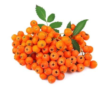 白で隔離される赤いナナカマド果実の束