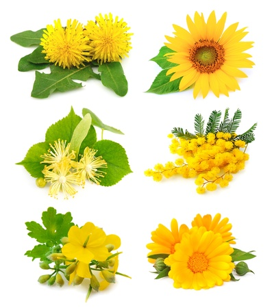 linden flowers: Set of spring yellow flowers on white  Stock Photo