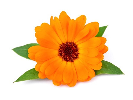 Marigold flowers on a white background  스톡 콘텐츠
