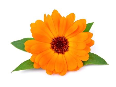 Marigold Blumen auf einem weißen Hintergrund