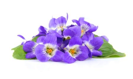 白にスミレの花のクローズ アップ