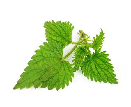 medicinal plants: Nettle herbs close up on white  Stock Photo