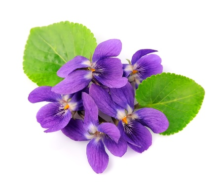violets flowers close up