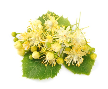 linden: linden flowers on a white background Stock Photo