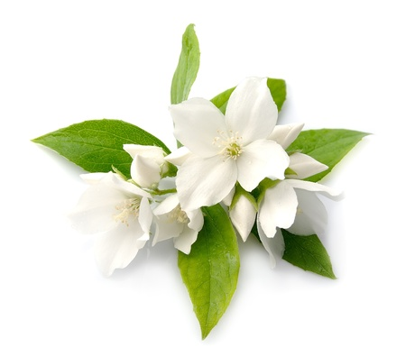 White flowers of jasmine on the white photo