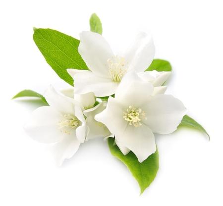 jasmine flower: White flowers of jasmine on the white