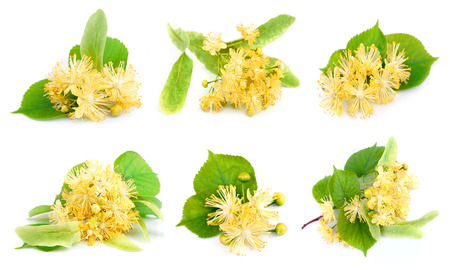 tilo: Conjunto de flores de tilo en un fondo blanco Foto de archivo