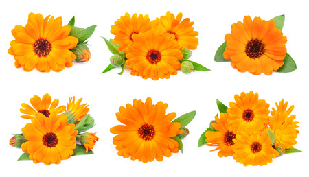 calendula: Collage of marigold flowers on a white background