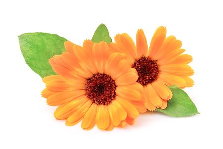 Goudsbloem bloemen op een witte achtergrond. Oranje bloemen.