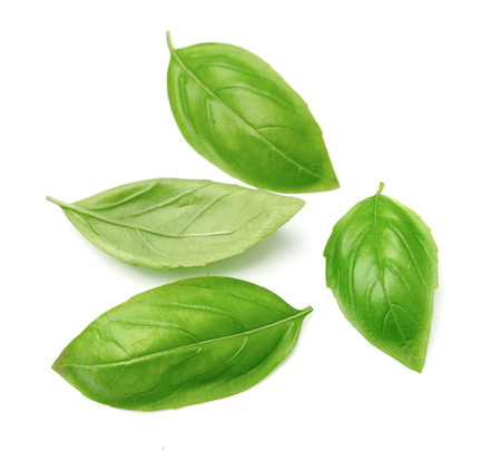 Fresh basil leaves isolated on white background