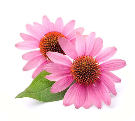Echinacea flowers close up isolated on white backgrounds.