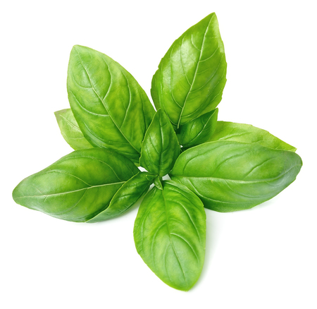Fresh basil leaves isolated on white background