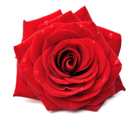 Red rose with drops isolated on white background Фото со стока