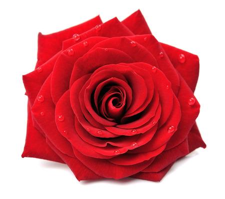 Rode roos met druppels geïsoleerd op een witte achtergrond Stockfoto - 52234780