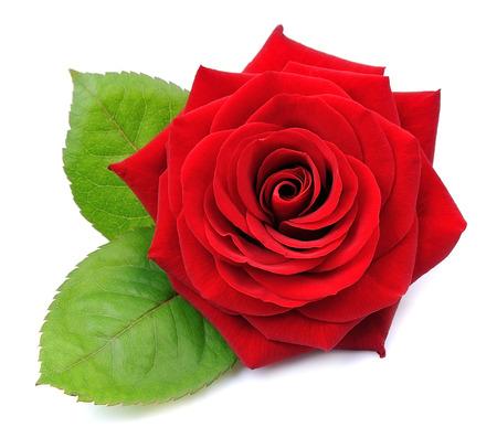 Czerwona róża na białym tle