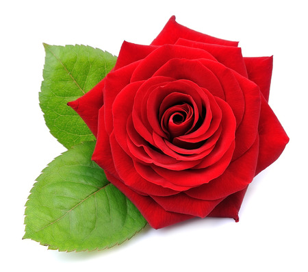 Rosa roja sobre fondo blanco