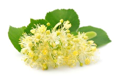 tilo: Linden flores sobre un fondo blanco Foto de archivo