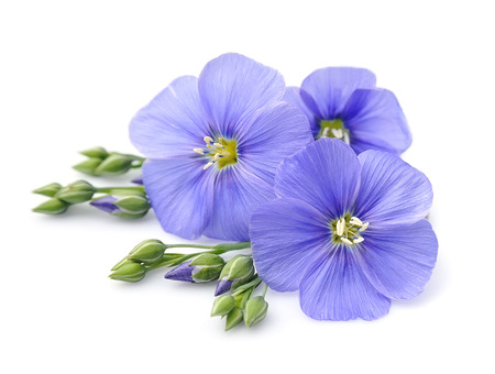 blue flower: Flax blue flowers close up on white. Stock Photo