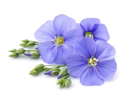 flores de color azul de lino de cerca en blanco. Foto de archivo