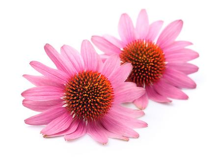 plantas medicinales: Echinacea flores cerca aisladas sobre fondos blancos. Planta medicinal.