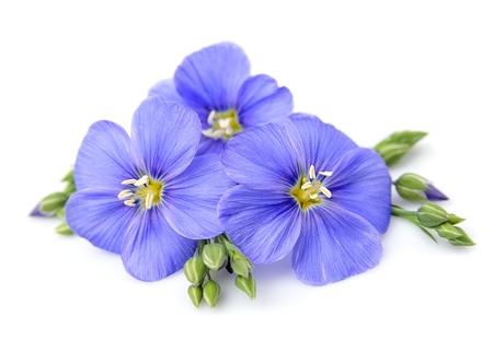 Vlas bloemen close-up op wit. Stockfoto