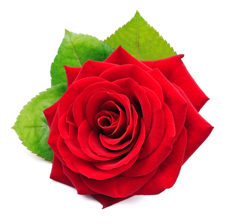 Single red rose with leaves isolated on white background