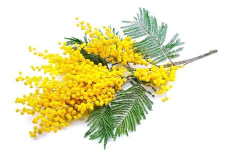 yellow flower tree: Twig of mimosa flowers isolated on white Stock Photo