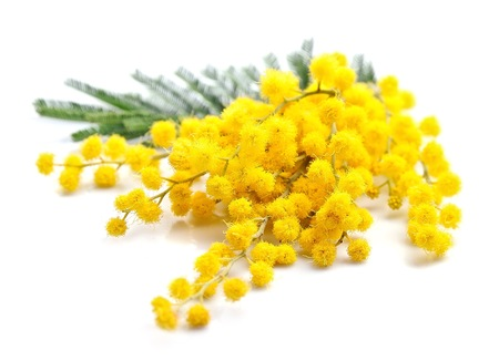 mimosa: Twig of mimosa flowers macro isolated on white Stock Photo
