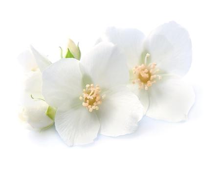 Jasmin blüht Nahaufnahme auf weißem Hintergrund. weiße Blumen