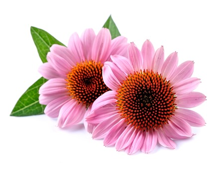 coneflowers: Echinacea flowers close up isolated on white backgrounds. Medicinal plant. Stock Photo