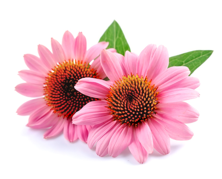 Echinacea flowers close up isolated on white backgrounds. Medicinal plant. Banco de Imagens