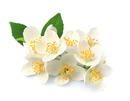 redolence: White flowers of jasmine on the white backgrounds.