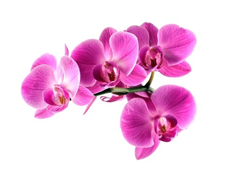 Pink orchid flower on white backgrounds.  Stock Photo
