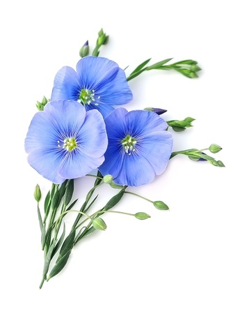 Primer plano de flores de lino azul sobre fondos blancos.