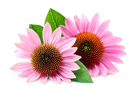 Echinacea flowers close up isolated on white backgrounds. Medicinal plant. 版權商用圖片